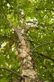 tła Baikal brzozy jeziora drzewo Obrazy Royalty Free