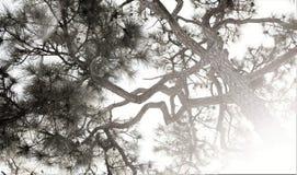 tła Baikal jeziora sosna zdjęcia royalty free
