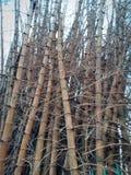 t?a bambusa zako?czenia naturalni drzewa naturalny obrazy royalty free