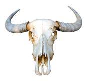 tła bawoliej czaszki tajlandzki biel Zdjęcia Stock