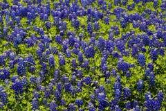 tła bluebonnet Zdjęcia Royalty Free