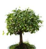 tła bonsai biel Fotografia Stock
