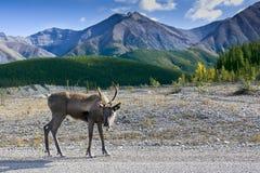 tła caribou góra Zdjęcie Stock