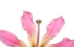 tła ceiba koloru kwiatu odosobniony drzewny biel Fotografia Royalty Free