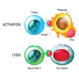 T-cell. Activation and lysis of the leukocytes. T-cell encounters its cognate antigen on the surface of an infected cell. T cells direct and regulate immune Royalty Free Stock Image