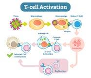 T-Cell activeringsdiagram, vectorregelingsillustratie Royalty-vrije Stock Foto