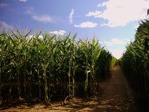 Été : chemins de labyrinthe de maïs Photographie stock libre de droits