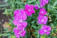 Tęcz menchii kwiat kwitnie Obrazy Royalty Free