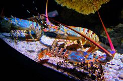 Tęcza homary Zdjęcie Stock
