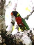 Tęcza Lorikeet w frangipani drzewie Zdjęcia Stock