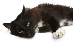 tła czarny kota biel Obraz Stock