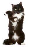 tła czarny kota biel Zdjęcie Royalty Free