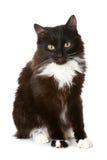 tła czarny kota biel Zdjęcie Stock