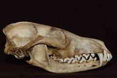 tła czaszka lisa czaszka fotografia stock