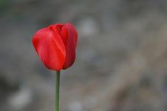 tła czerwieni tulipan Zdjęcie Royalty Free