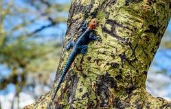 Tęczy jaszczurka na drzewie w Kenja, Afryka Fotografia Royalty Free