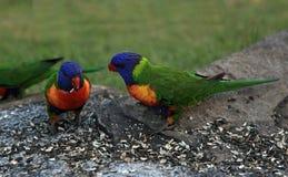 Tęczy Lorikeet papuga Zdjęcia Royalty Free