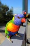 Tęczy Lorikeet papuga Zdjęcie Royalty Free