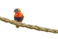 Tęczy papuga na arkanie Zdjęcie Stock