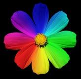Tęczy Primula kwiat makro- Zdjęcie Royalty Free