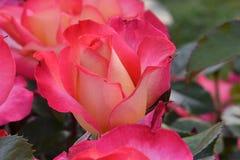 Tęczy Sorbet Rosebud 01 Zdjęcia Royalty Free