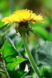 tła dandelion trawy natury wektor Obrazy Royalty Free