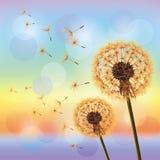 tła dandelions kwiatów zmierzch Zdjęcie Stock