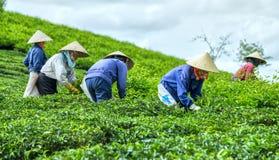 Té de la cosecha de GrFarmers en la plantación de té Imagen de archivo