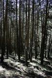 For?t de pin dans la montagne photographie stock libre de droits
