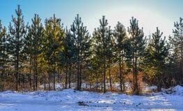 For?t de pin en hiver photos libres de droits