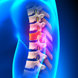 T6 Disc - Thoracic Spine Anatomy Stock Images