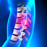 T8 Disc - Thoracic Spine Anatomy Stock Photo