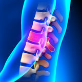 T11 Disc - Thoracic Spine Anatomy Stock Photo