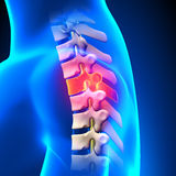T3 Disc - Thoracic Spine Anatomy Stock Images