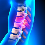 T9 Disc - Thoracic Spine Anatomy Stock Image