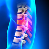 T7 Disc - Thoracic Spine Anatomy Stock Images