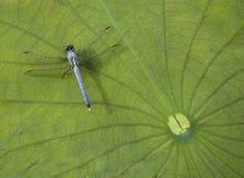 tła dragonfly Obrazy Royalty Free