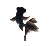 tła goldfish odosobniony biel Zdjęcia Stock
