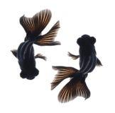 tła goldfish odosobniony biel Zdjęcia Royalty Free