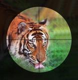 ` T Hunt Tigers de Don Photographie stock libre de droits