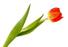 tła imbiru odosobniony tulipanowy biel Fotografia Stock