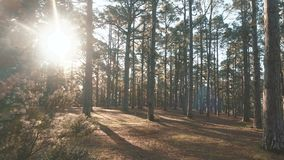 For?t impeccable de pin dans la belle lumi?re de matin Les rayons de soleil traversent des branches banque de vidéos
