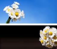 tła inkasowi stokrotki kwiaty Zdjęcia Royalty Free