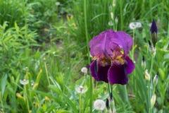 t?a karty kwiatu powitania irysa strony szablonu cechy og?lnej sie? Kwitnący purpurowy irys, odwiecznie roślina rodzinny Iridacea obraz royalty free