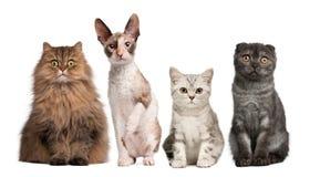 tła kotów frontowej grupy obsiadania biel Zdjęcia Royalty Free