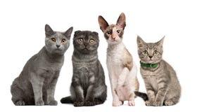 tła kotów frontowej grupy obsiadania biel Obrazy Stock