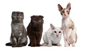 tła kotów frontowej grupy obsiadania biel Zdjęcie Stock