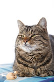 tła kota tabby biel Fotografia Royalty Free