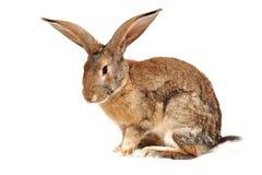 tła królika biel Zdjęcie Royalty Free