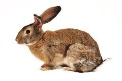 tła królika biel Obrazy Royalty Free